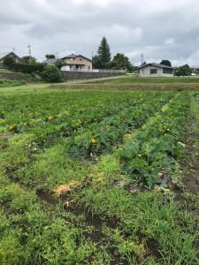 ズッキーニ畑2