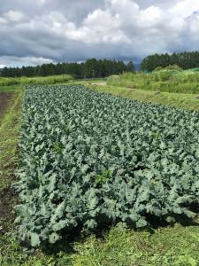 ブロッコリー畑2